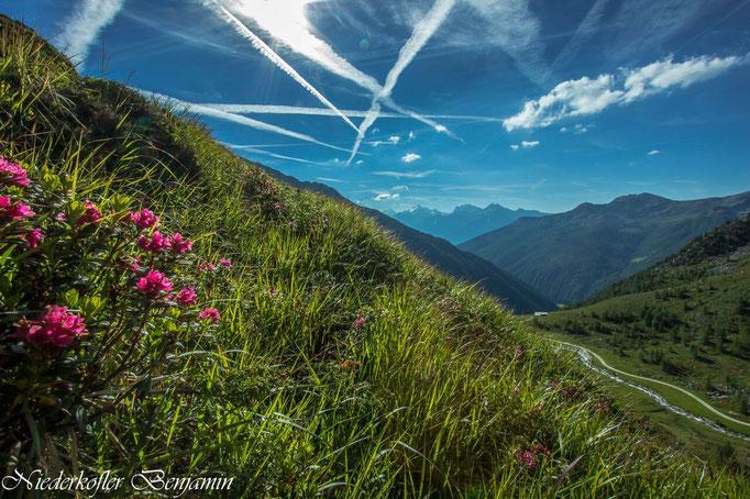Alpenflora bei der Göge Alm in Weißenbach in der Ferienregion Kronplatz