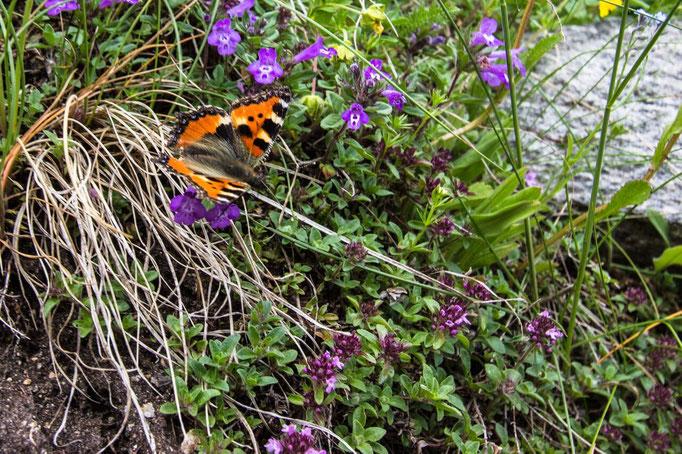 Ein Schmetterling vergnügt sich inmitten der Ahrntaler Alpenflora