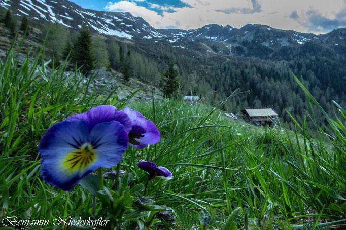 In den Weißenbacher Bergen im schönen Ahrntal blüht ein Stiefmütterchen