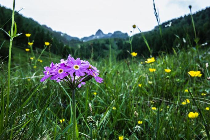 Im Frühling ist die Alpenflora in den Ahrntaler Bergen besonders farbenfroh