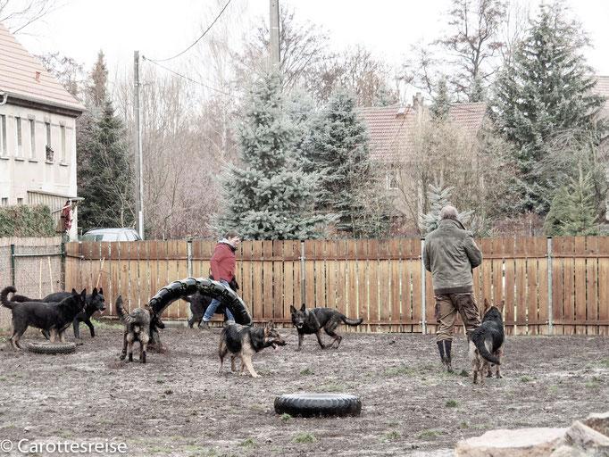 Schäferhunde vom Altenburger Land
