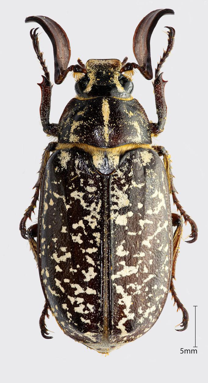 Polyphylla fullo (Linnaeus, 1758) | Walker