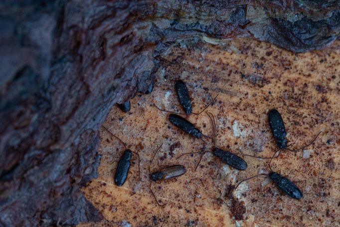 Gruppe von  Langhörnigen Raubplattkäfer (Uleiota planata) unter Kiefernrinde