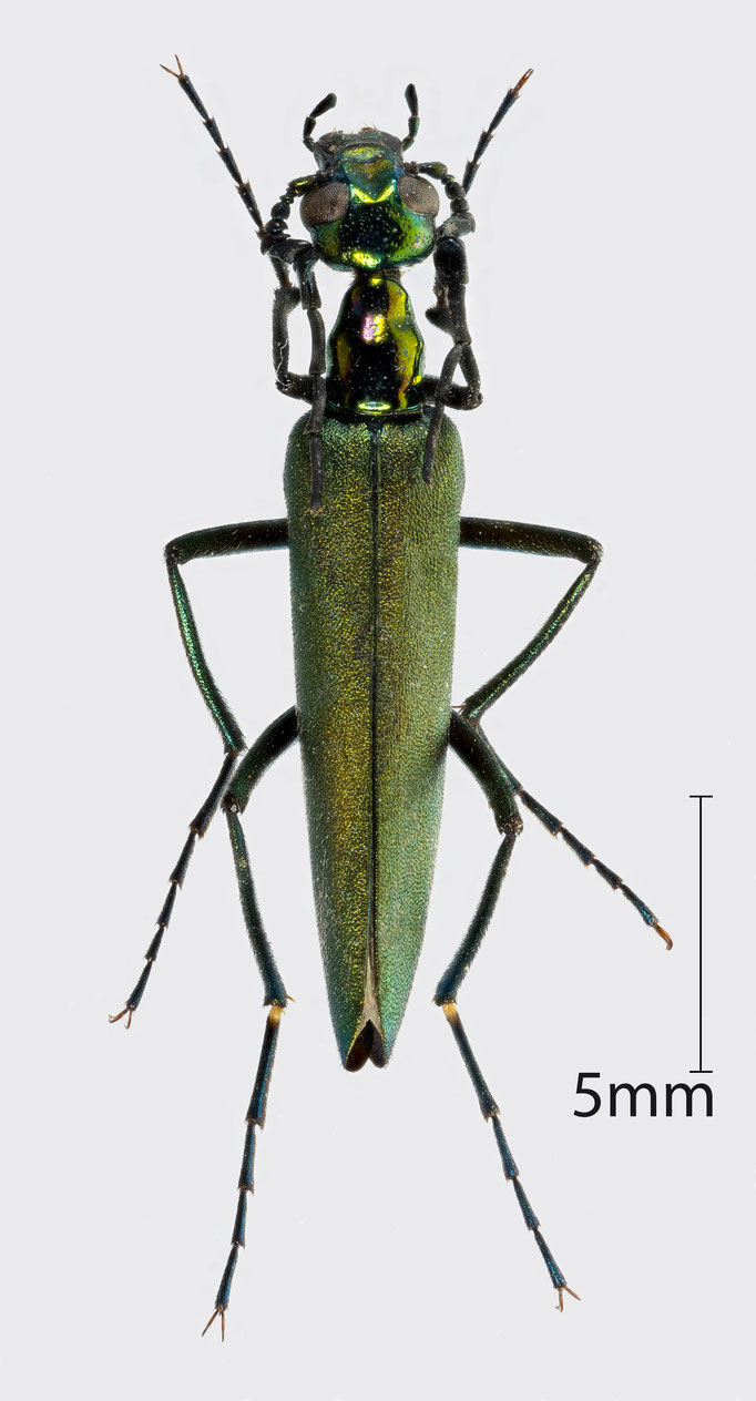 Meloidae sp. | unbestimmter Ölkäfer aus Mali