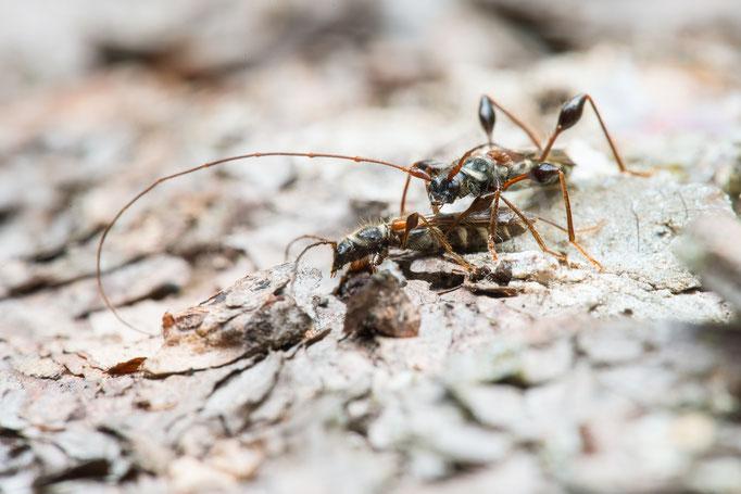 Kleiner Wespenbock - Molorchus minor