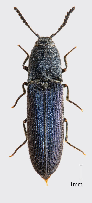 Limoniscus violaceus (Müller, 1821) | Veilchenblauer Wurzelhals-Schnellkäfer