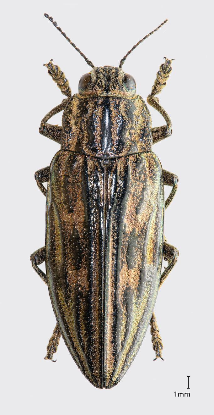 Chalcophora mariana (Linnaeus, 1758) | Marienprachtkäfer