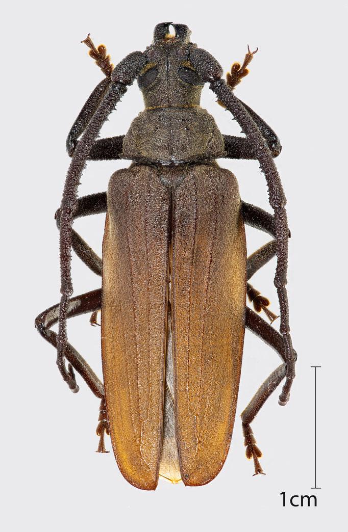 Aegosoma scabricorne (Scopoli, 1763) | Körnerbock (männlich)