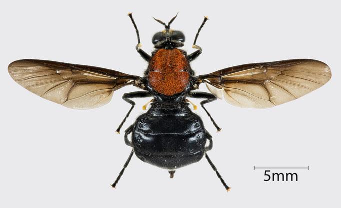 Clitellaria ephippium (Fabricius, 1775) | Waffenfliege (weiblich)
