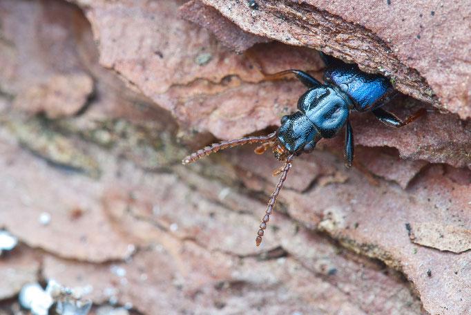 Blauer Drachenkäfer - Pytho depressus