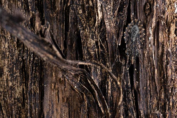 Rindenwanze - Aradus ribauti unter Pappelrinde