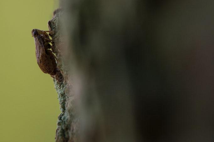Echte Käferzikade - Issus coleoptratus