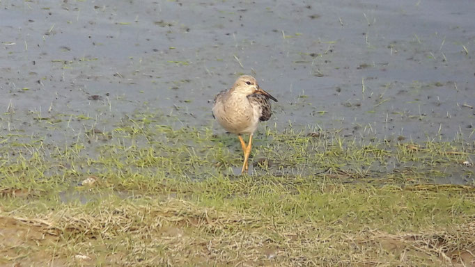 Combattant varié (Philomachus pugnax) au Lac du Der le 07 Septembre 2017