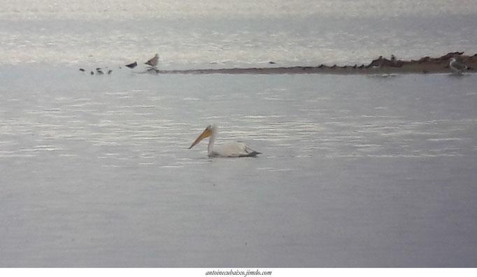 Pélican frisé (Pelecanus crispus) au Lac du Der