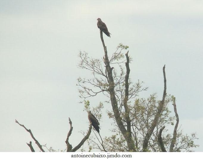 Couple de Milans noirs (Milvus migrans) en Argonne