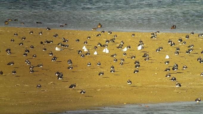 Vanneaux huppés (Vanellus vanellus) au Lac du Der le 05 septembre 2017