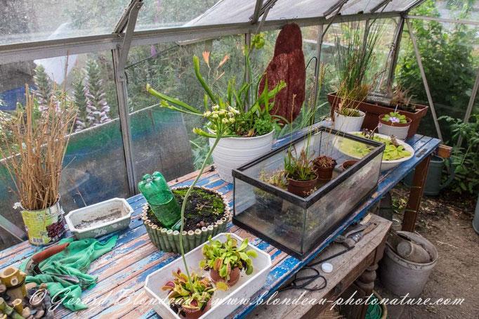 Espace plantes carnivores avec la sarracénie qui piège les frelons asiatiques