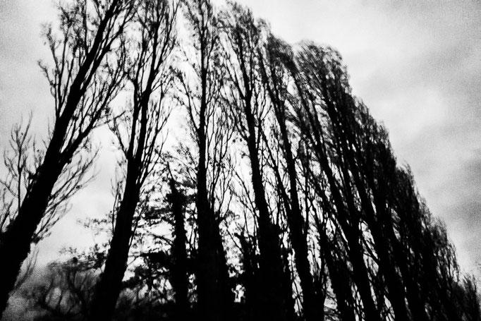 Michael Bennoun - peupliers - poplars