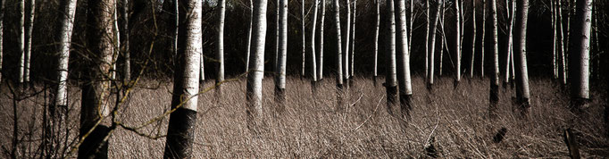 Michael Bennoun - bouleaux - birches