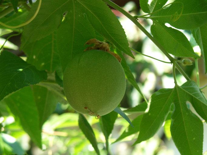 Incarnata Frucht heranreifend