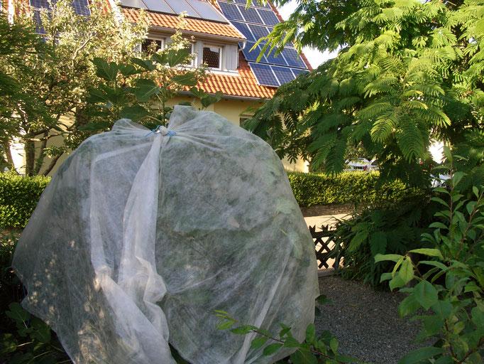 Feigen - Vogelschutznetz gegen Amseln (Westseite)