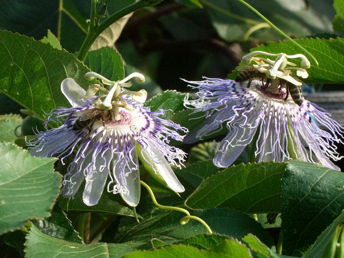 Passiflora Incarnata (winterh. Fruchtsorte mit duftenden Blüten und wertvolle Heilpflanze