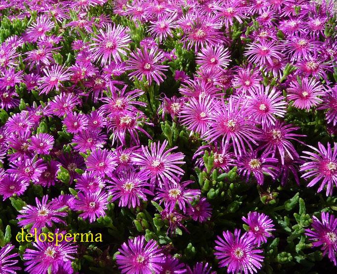 délosperma,aménagement de jardin de fleurs
