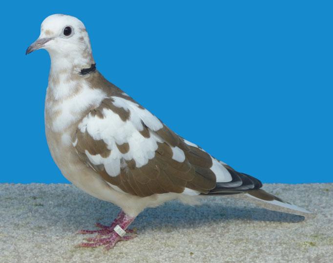 Tourterelle rieuse panaché bicolore blanc sauvage 96 à Alain Debord