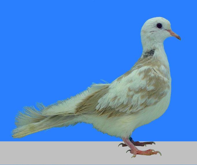 Soyeuse tachetée bicolore blanc blond