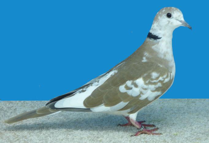 Tourterelle rieuse panaché bicolore blanc sauvage 96 à Daniel Rose
