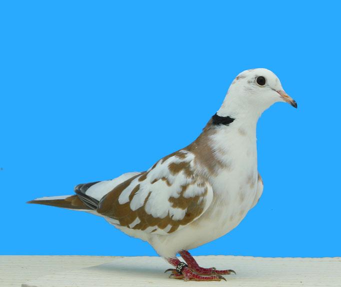 Tourterelle rieuse panaché bicolore blanc sauvage 97 à Georges Dubois