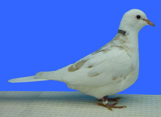 Tourterelle rieuse tacheté bicolore blanc blonde 96 à Alain Debord