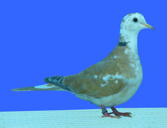 Tourterelle rieuse panaché à épaulettes bicolore blanc sauvage 96 à Alain Debord
