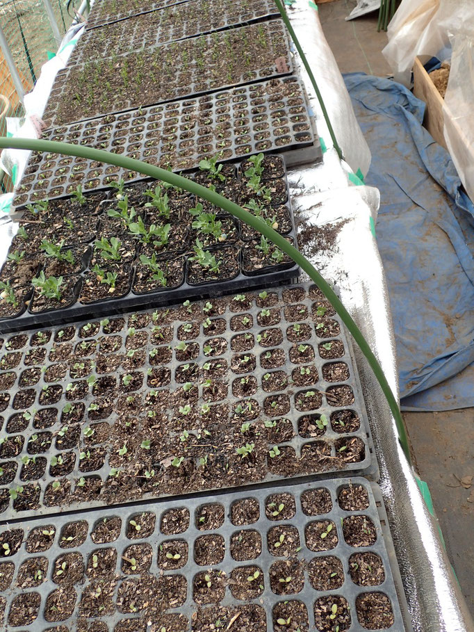 ビニールハウスに沢山の芽が、定植を待ってます 2/2