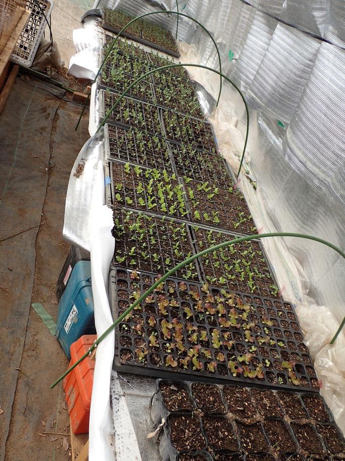ビニールハウスに沢山の芽が、定植を待ってます 1/2