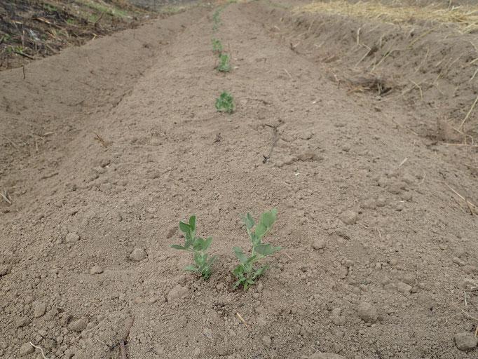 スナップエンドウ(3月6日に定植、5月後半に収穫)