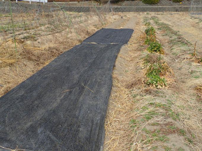人参と春菊を播種(一週間で芽出し、6月後半に収穫かな)