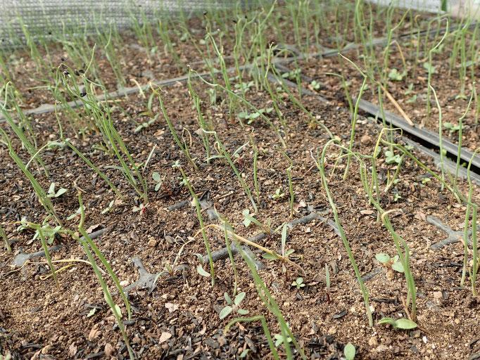 長ネギ(2月初めの播種、晩秋に収穫予定)