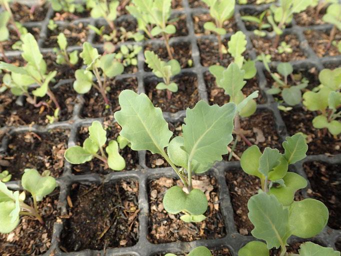 キャベツ(2月初め播種、3月中旬に定植)
