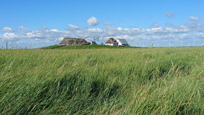 Die Strandquecke breitet sich auf den unbeweideten Flächen der Salzwiese aus.
