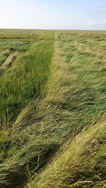 ehemlalige Gräben in der Salzwiese sind aufgegeben worden, werden nicht mehr gegrüppt  und sind nur noch ansatzweise zu sehen
