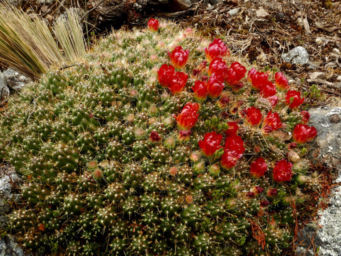 Kaktus auf 4500müM