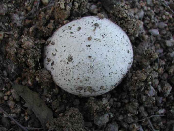 Une vesse de loup, champignon