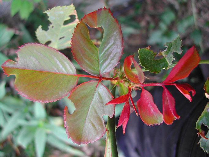 Jeune rosier sauvage