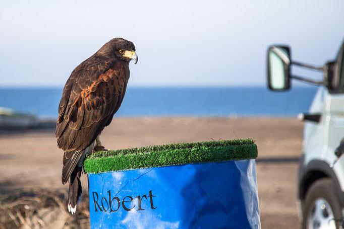 Ein Falkner macht mit seinem Falken Urlaub