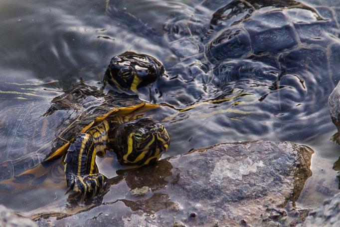 Dann kamen noch mehr Schildkröten, wahrscheinlich werden sie auch gefüttert.