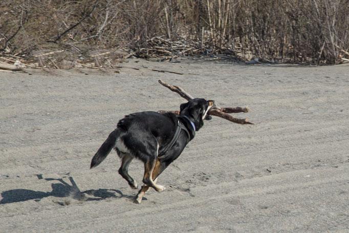 Nicki ist ein fleißiger Holzsammler
