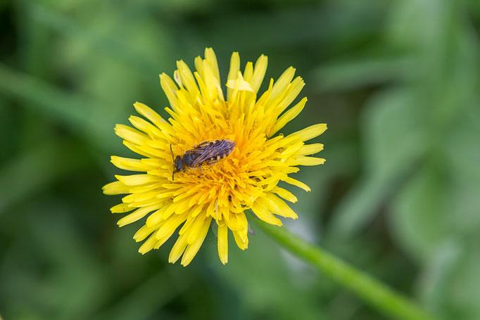 Bienenwespe