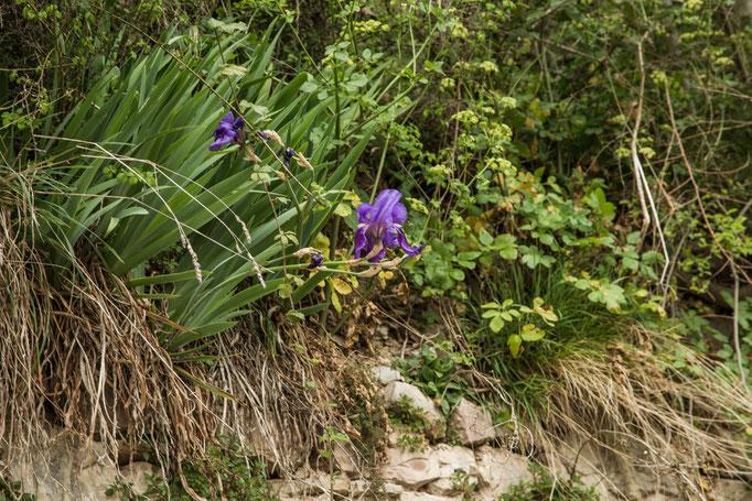 Die blaue Iris sieht man an vielen Sonnenhängen.