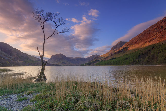 Lonely Tree, Buttermere, goldern hour